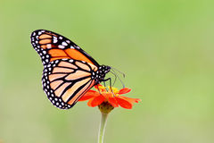 Free Monarch Butterfly Royalty Free Stock Photography - 3206417