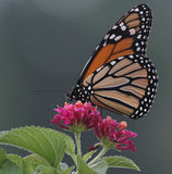 Monarch Butterfly Royalty Free Stock Photos