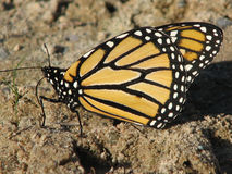 Monarch Butterfly. Black, orange and white monarch butterfly, alight with wings together against a sandy background Royalty Free Stock Image