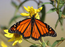 Free Monarch Butterfly Royalty Free Stock Photos - 3252278
