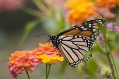 Monarch Butterfly. On Lantana Flowers Royalty Free Stock Images