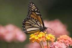 Monarch Butterfly. On Lantana Flowers Stock Image