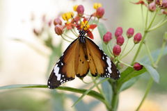 Monarch butterfly. On a pink flower stock image