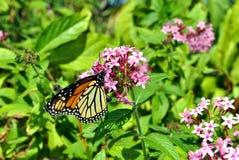 Monarch butterfly. Latin name Danaus plexippus on a pink flower Stock Photos