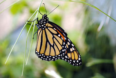 Monarch butterfly. Latin name Danaus plexippus stock photo