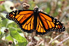 Monarch Butterfly. Stretching it's wings in the sunshine Stock Photography