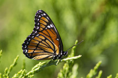 Monarch Butterfly 4 - Danaus plexippus. This is a colorful orange, black, blue, and white monarch butterfly, Danaus plexippus, sitting on a juniper bush. This Royalty Free Stock Photography