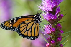 Monarch Butterfly. A Monarch Butterfly feeding on a pink flower Stock Photo