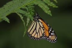 Monarch butterfly. Danaus plexippus -on leaf stock photography