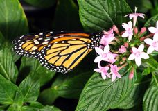 Monarch Butterfly. Gathering nectar in Costa Rica Stock Photo