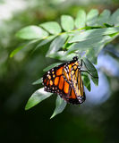 Monarch butterfly. Side view of Monarch, Danaus plexippus butterfly on a plant stock photo