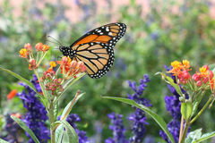 Monarch Butterfly. Profile of Monarch butterfly feeding from flowers Stock Photos