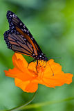 Monarch Butterfly. Colorful garden scene featuring a beautiful Monarch Butterfly sitting on an orange Coreopsis. Photographed in Virgina, USA stock photo