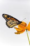 Monarch Butterfly. Beautiful Monarch Butterfly sitting on an orange Coreopsis. Photographed in Virgina, USA Royalty Free Stock Photo