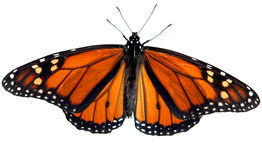 Monarch Butterfly. Isolated on white with clipping path included Stock Photo