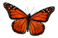 Monarch Butterfly. Isolated on white, clipping path Royalty Free Stock Photo
