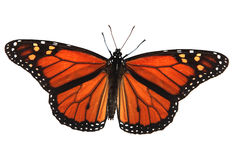 Monarch Butterfly. Alive monarch butterfly isolated on white with clipping path included Royalty Free Stock Image