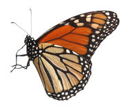 Monarch Butterfly. Alive monarch butterfly isolated on white with clipping path Stock Images