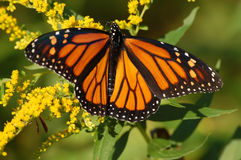 Free Monarch Butterfly Stock Images - 6249124