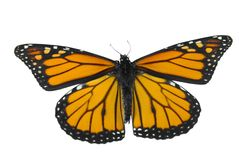 Monarch Butterfly. Isolated on a white background Royalty Free Stock Images