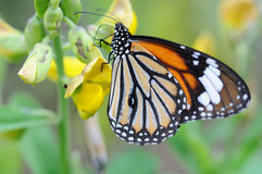 Monarch butterfly. Close up of an orange monarch butterfly royalty free stock photo