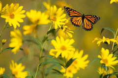 Free Monarch Butterfly Stock Photos - 77350993