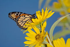 Monarch Butterfly. On A Yellow Flower, Danaus plexippus royalty free stock photo