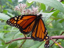 Monarch Butterfly. Taken with a Sony Cybershot 717 at 2560x1920 resolution Royalty Free Stock Images