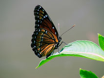 Monarch Butterfly. In the sun royalty free stock photos