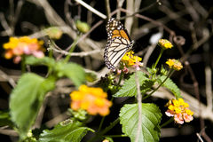 Free Monarch Butterfly Stock Photo - 90256740