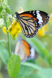Monarch butterfly. Close up of an orange monarch butterfly stock photography