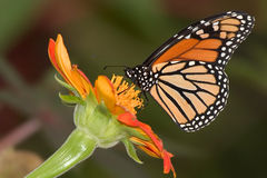 Monarch Butterfly. On A Red Flower, Danaus plexippus Royalty Free Stock Photos