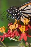 Monarch Butterfly. On Butterfly Weed Flowers, Danaus plexippus stock image