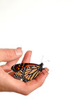 Monarch butterfly. Live Monarch butterfly in male hand stock photos