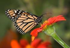 Monarch Butterfly. On Red Flower, Danaus plexippus stock photography
