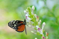 Monarch butterfly. (Danaus plexippus) on a flower in summer royalty free stock image