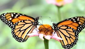 Monarch Butterfly. Two monarch butterflies ( Danaus plexippus ) on pink flower stock photography