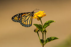 Monarch Butterfly. Adult Monarch Butterfly Feeding On Yellow Lantana Flower Royalty Free Stock Image