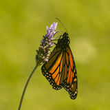 Monarch butterfly against blurred background Royalty Free Stock Image