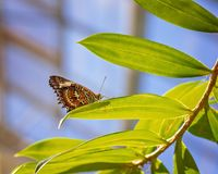 Monarch Butterfly In A Breeding Aviary stock image