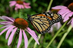 Monarch Butterfly Alighted On Purple Blossom. Colorful summer closeup of a monarch butterfly visiting a purple coneflower blossom stock photo
