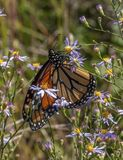 Monarch Butterfly on Aster. A beautiful and increasingly uncommon Monarch butterfly feeds on an autumn aster in a Wisconsin meadow royalty free stock images