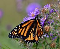 Monarch Butterfly on Aster Flowers. This is a Fall picture of a Monarch Butterfly on Aster Flowers in the Montrose Point Bird Sanctuary located in Chicago royalty free stock photos