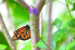 Monarch butterfly in aviary in Florida royalty free stock images