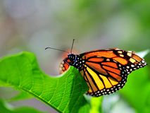 Monarch butterfly in aviary Royalty Free Stock Photography