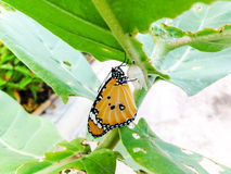Monarch Butterfly,  baby born in the nature. Royalty Free Stock Image