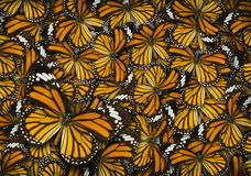 Monarch butterfly background. Common tiger butterfly , Danaus Genutia , monarch butterfly background Royalty Free Stock Image