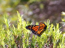 Monarch Butterfly Backlit. A Monarch Butterfly on a shrub with backlit lighting royalty free stock photos