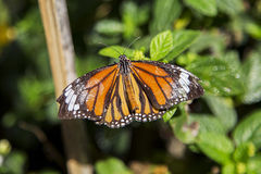 Monarch butterfly. From Bai Orchid and Butterfly Farm at Chiang Mai, Thailand royalty free stock photos