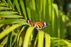 Monarch butterfly. From Bai Orchid and Butterfly Farm at Chiang Mai, Thailand stock image